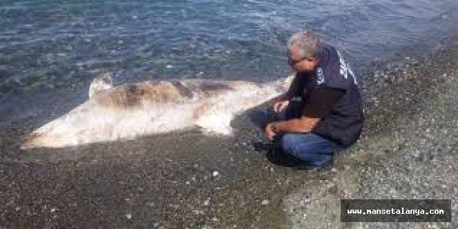 Alanya'da sahile köpek balığı vurdu