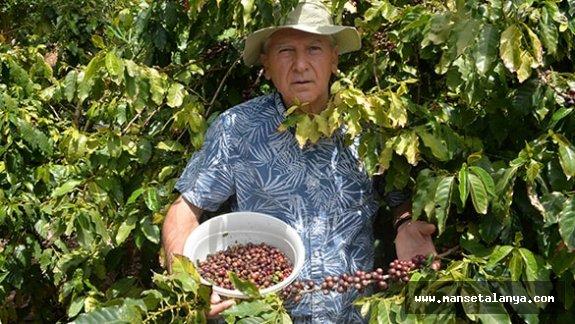 Gazipaşa'da ilk defak kahve ağaçlarından meyve alındı!...!