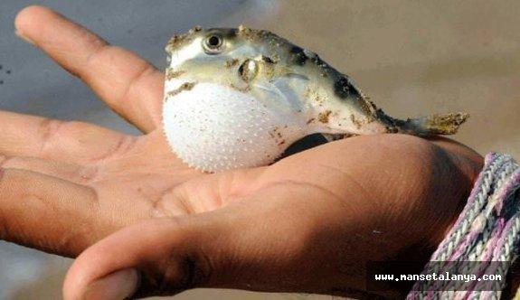 Bakan Pakdemirli'den zehirli balon balığı açıklaması
