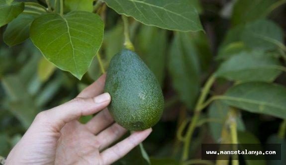 Alanya'da avokado'nun hedefi açıklandı!