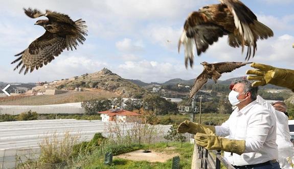 Alanya'da şahinler özgürlüğüne kavuştu!