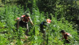 Alanya'da ormanlık alanda hint keneviri