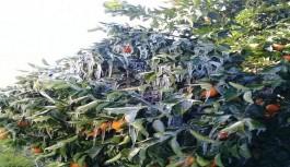 Finike'de portakal ağaçlarında buz sarkıtları oluştu