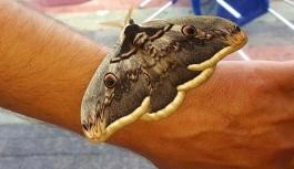 Tavus kelebeği Gazipaşa'da görüldü