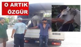 Antalya Büyükşehir, Alanya'da bir atı daha özgürlüğüne kavuşturdu!