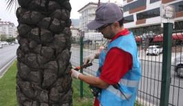 Alanya belediyesinden kırmızı palmiye böceği ile mücadele