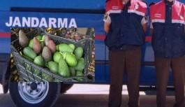Alanya'da 10 bin avokado çalanlar yakalandı!