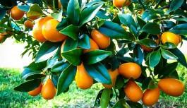 Alanya'da çokça yetişen bu meyveye talep arttı. Faydasını okumak için haberi tıklayın!