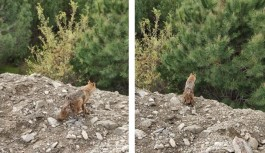 Alanya'da kuyudan kurtarılan tilki doğal yaşama bırakıldı!