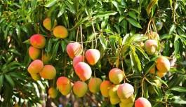 Gazipaşa'da mango ağacı sayısı...