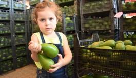 Alanyalı avokado üreticilerinin hedefi 20 ülkeye ihracat!